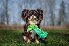 Free Chihuahua Dog Holding Poop Bags Outdoors Stock Image - 145196641