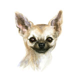 The chihuahua dog. Chihuahua dog. Image of a thoroughbred dog. Watercolor painting Royalty Free Stock Image