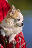 Chihuahua dog inside bright bag for pet carrier. On sunlight outdoor shot Stock Photography