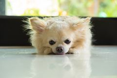 Chihuahua dog lay down royalty free stock images