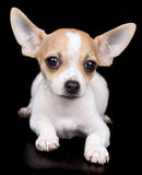 Chihuahua dog laying on a black background Royalty Free Stock Photo