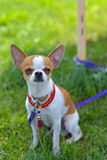 Chihuahua. Dog laying on grass Royalty Free Stock Photography