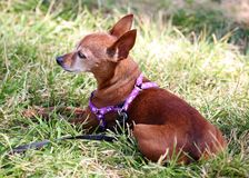 Chihuahua dog laying in green grass at park in Miami Beach Stock Image