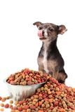 Chihuahua dog licking his chops Stock Photography