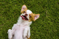 Chihuahua dog lying. Back on the grass Stock Photos