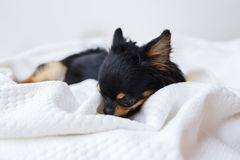 Chihuahua dog Stock Images