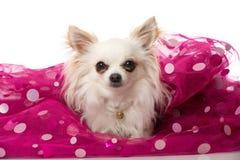 Chihuahua dog Royalty Free Stock Photo