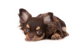 Chihuahua dog lying down. Brown chihuahua dog posing on white Royalty Free Stock Photography