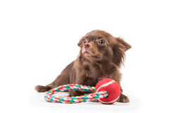 Chihuahua dog lying down, looking scared Stock Photos