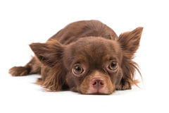 Chihuahua dog lying down, looking scared Stock Photography