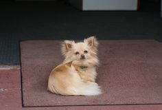 Chihuahua dog on the mat Royalty Free Stock Photography