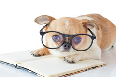 Chihuahua dog with notebook. Cute dog, Chihuahua wearing eyeglasses with notebook and looking camera on white background Stock Image