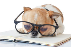 Chihuahua dog with notebook. Cute dog, Chihuahua wearing eyeglasses with notebook and want to sleep, on white background Royalty Free Stock Photo