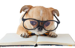 Chihuahua dog with notebook. Cute dog, Chihuahua wearing eyeglasses with notebook on white background, Isolated Stock Images