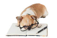 Chihuahua dog with notebook and pen. Cute dog, Chihuahua wearing eyeglasses with notebook and pen and looking camera, on white background Stock Photography