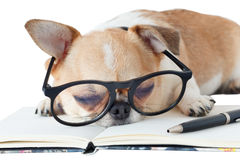 Chihuahua dog with notebook and pen. Cute dog, Chihuahua wearing eyeglasses with notebook and pen and sleeping, on white background Royalty Free Stock Photo