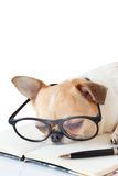Chihuahua dog with notebook and pen. Cute dog, Chihuahua wearing eyeglasses with notebook and pen and sleeping, on white background Stock Photography