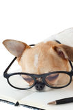 Chihuahua dog with notebook and pen. Cute dog, Chihuahua wearing eyeglasses with notebook and pen and sleeping, on white background Royalty Free Stock Image