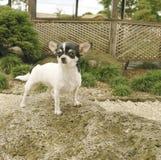 Chihuahua Dog On Rock Royalty Free Stock Photos