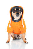 Chihuahua dog in an orange hoodie Stock Photography