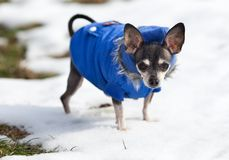 Chihuahua dog outdoor Stock Image