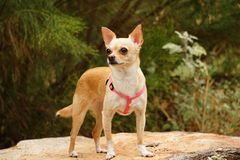 Chihuahua Dog - Standing - Outdoor Picture. Small Chihuahua, standing on a rock in front of green background Royalty Free Stock Image