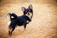 Chihuahua dog outdoor portrait Royalty Free Stock Photos