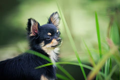Chihuahua dog outdoor portrait royalty free stock photo