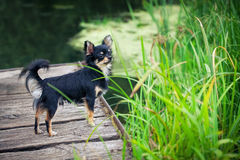 Chihuahua dog outdoor portrait Stock Photography