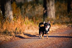 Chihuahua dog outdoor portrait Stock Images