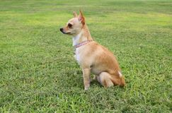 Chihuahua Dog Outdoor. Chihuahua Dog Sitting on the Grass Outdoor Royalty Free Stock Image