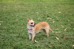 Chihuahua Dog Outdoor. Chihuahua Dog Standing Outdoor During Fall Royalty Free Stock Images