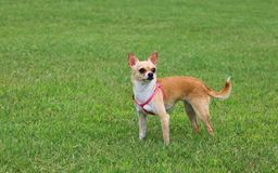 Chihuahua Dog Outdoor. Chihuahua Dog Standing on Grass Stock Photography