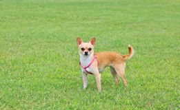 Chihuahua Dog Outdoor. Chihuahua Dog Standing on Grass Royalty Free Stock Photos