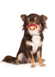 Chihuahua dog with a pacifier. Brown chihuahua dog on white background Stock Photo