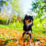 Chihuahua dog in a park stock images