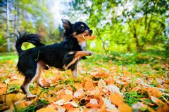 Chihuahua dog in a park Royalty Free Stock Images