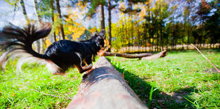 Chihuahua dog in a park Royalty Free Stock Photo