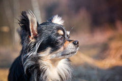 Chihuahua dog in a park Stock Photo