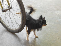 Chihuahua dog peeing