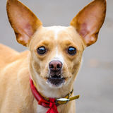 Chihuahua dog pet big ears head face Stock Photo