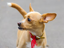 Chihuahua dog pet red bow collar Royalty Free Stock Images
