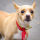 Chihuahua dog pet red bow collar Royalty Free Stock Image