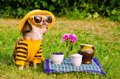 Chihuahua dog picnic in the garden Royalty Free Stock Photo