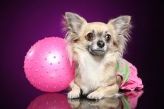Chihuahua dog with pink ball royalty free stock photo