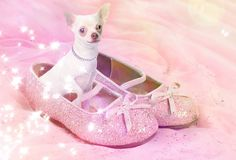Chihuahua dog in pink glittery shoe stock image