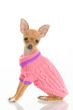 Chihuahua dog in pink sweater Stock Photo