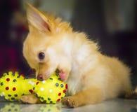 Chihuahua dog Royalty Free Stock Photography
