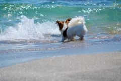 Chihuahua Dog Playing with the Water on the Beach. Dog and Sea stock images