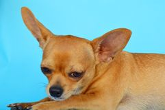 Chihuahua dog portait. Chihuaha potrait in brown colors with white spots on blue background. Romantic gaze Royalty Free Stock Photo